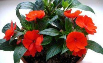 домашние цветы в горшках фото и название уход