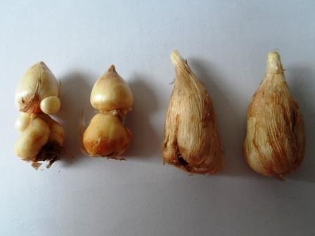 луковицы фрезии