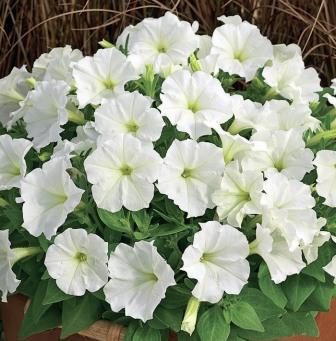 PETUNIA mini Picobella White