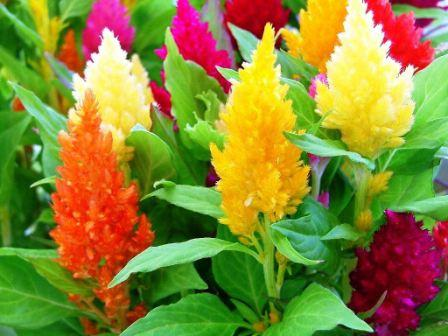 целозия выращивание из семян