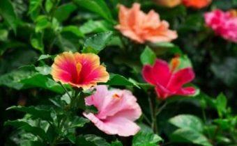 гибискус садовый уход