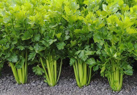 Как выращивать сельдерей в домашних условиях